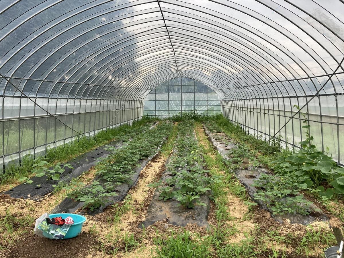 無農薬野菜を育てているビニールハウス
